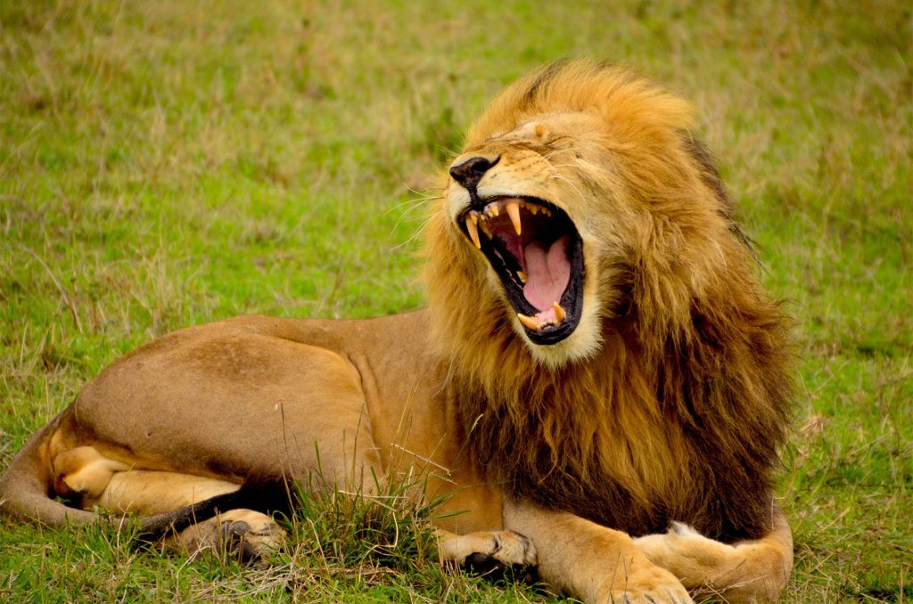 A lion roaring about bad SEO practices